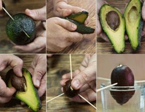 Авокадо выращивать