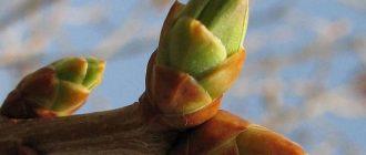 Березовые почки - весеннее лекарство от всех болезней