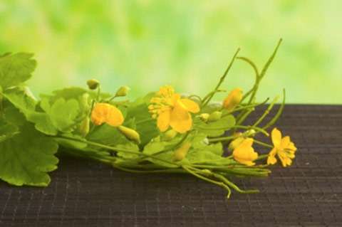 лечение ласточкиной травой