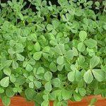 Пажитник - удивительное растение на все случаи жизни!
