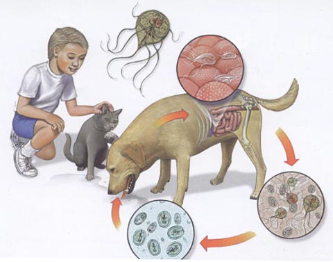 лямблиоза и лечение