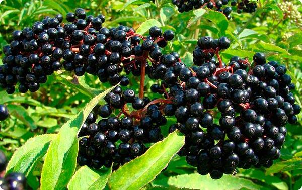 Бузина черная: все о ее лечебных свойствах и противопоказаниях
