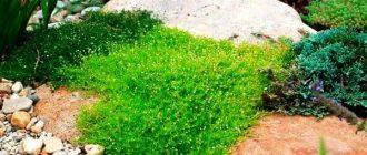 Ирландский мох – уникальное растение, подарок океанских глубин